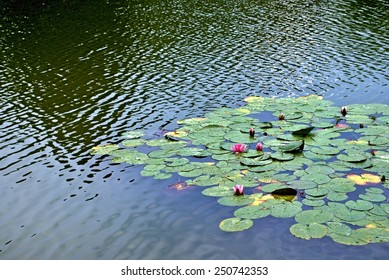 Red water lilies on a lake