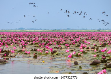 Red water lilies sea and Anatidae at Nong Han marsh. The travel destination for tourism in Kumphawapi district, Udon Thani, Thailand.