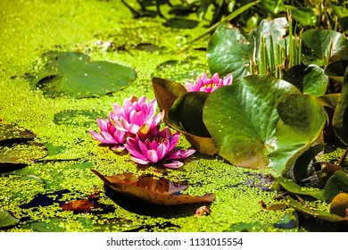 Red water lilies, species of tropicat aquatic herbs