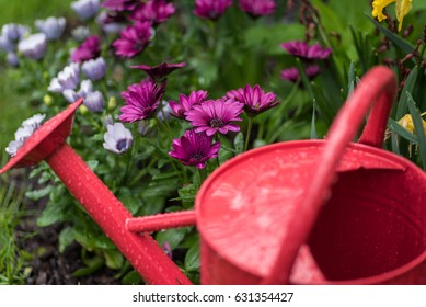 Red watering can in garden of colorful purple and white marguerite daisies on a rainy day - April showers bring May flowers - soft focus