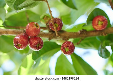 Red wax apple fruit group hang on tree branch
