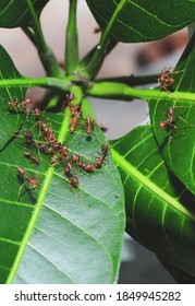 Red weaver ants teamwork, Red ants teamwork. Concept of teamwork together. Red fire ants building nest. Ants nest from the leaves.
