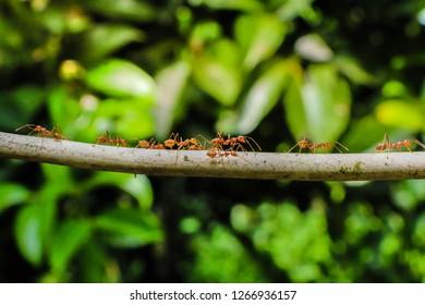 Red weaver ants teamwork,Red ants teamwork.