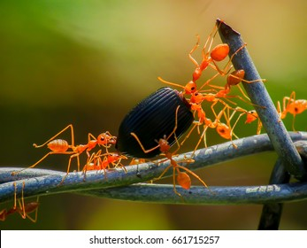 Red weaver ants teamwork,Red ants teamwork