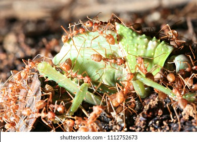 Red Weaver Ants tearing their prey apart