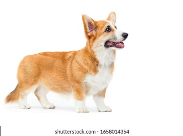 red welsh corgi puppy with tongue looking sideways on a white background