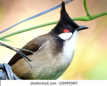 Red whiskered bulbul is common.They adapt well to urban areas and develop stable population in natural habitat.They feed on fruits and seeds pass through their guts germinate better,forming mutualism.