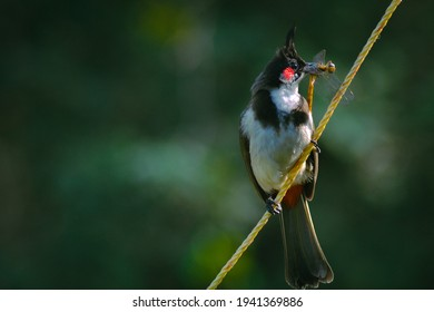 Red whiskered bulbul eating dragonfly