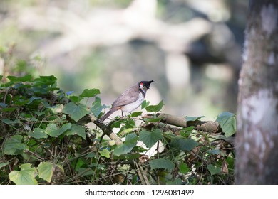 Red whiskered bulbul at Nandi Hills