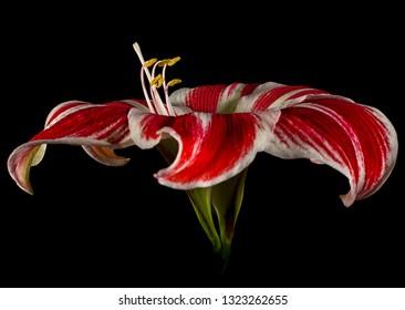 red and white amaryllis macro