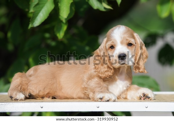 red and white american cocker puppy lying down