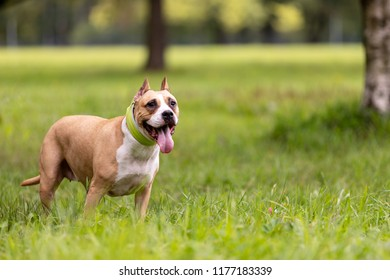 Red and white american staffordshire terrier with cropped ears walks outdoor at summer