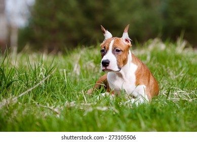 red and white american staffordshire terrier puppy