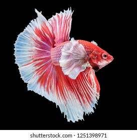 Red and white betta splendens (Halfmoon betta), Siamese fighting fish. Betta fish on black background