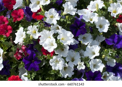 Red, white and blue (purple?) Petunias photographed in Shelton, WA, USA.