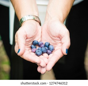 Red White and Blueberry Picking