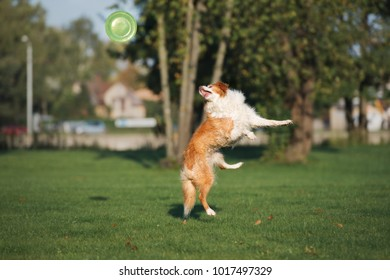 red and white border collie dog playing with a flying disc