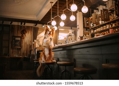 red and white border collie dog posing in a bar