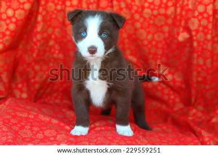 Red White Border Collie Puppy Standing Stock Photo Edit Now