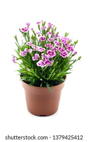 red white carnation flower pot (Dianthus caryophyllus) on isolated background.