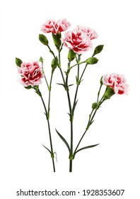 Red and white carnation flowers with green buds and leaves isolated on white