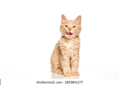The red or white cat i on white studio background