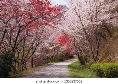Red and white cherry blossom on Jinhae Dream Road, Jinhae-gu, Changwon, Korea