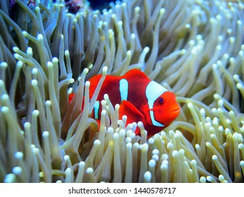 Red and white Clownfish in anemone at Raja Ampat