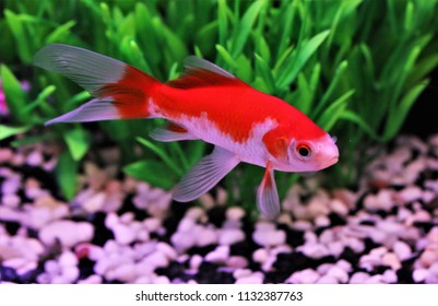 Red and white Comet goldfish, Carassius auratus are swimming in freshwater aquarium tank. The Comet is one of two goldfish varieties that originated in the USA.