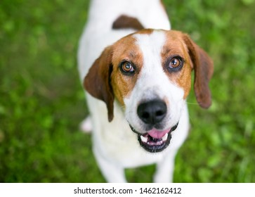 A red and white Coonhound mixed breed dog looking up at the camera