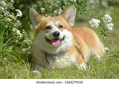 red and white corgi at a flowering spring bush