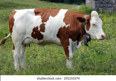 red and white cow grazing in the meadow in the mountains