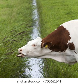 red and white cow reaches with tongue for grass on other side of ditch in dutch meadow