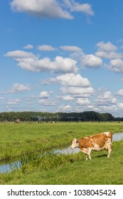 Red and white cow at the water near Groningen, Netherlands