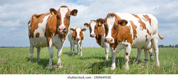 red and white cows in green grassy dutch meadow in the netherlands under blue sky with white clouds