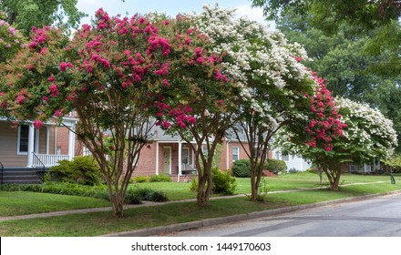 Red and white crepe myrtle trees on residential neighborhood street. Crape or crepe myrtles are chiefly known for their colorful and long-lasting flowers which occur in summer.
