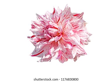 Red and white dahlia flower isolated on white background