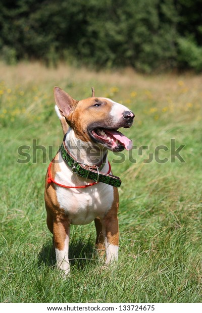 Red and white english bull terrier walking at the field in summer