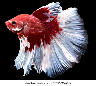 Red and white fighting fish spread tail-feathers, betta splendens (Halfmoon betta), Siamese fighting fish. Betta fish on black background
