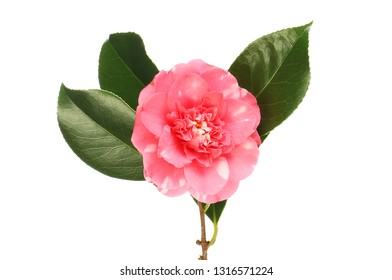 Red and white flecked camellia flower and leaves isolated against white