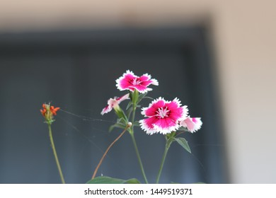 Red White Flower in Garden