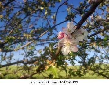 Red and white flowers. Apple tree in bloom. Flowering fruit tree nuts. European agricultural industry of fruit. Contrasts of natural colors in rural area.