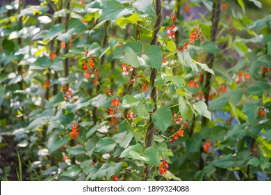 Red and white flowers of kidney bean (Phaseolus coccineus) blooming on green plants in homemade garden. Organic farming, healthy food, BIO viands, back to nature concept.