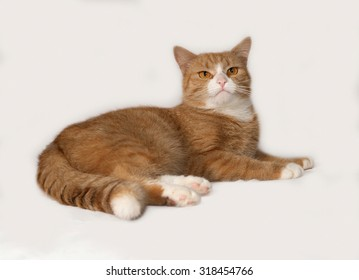 Red and white fluffy cat lies on gray background