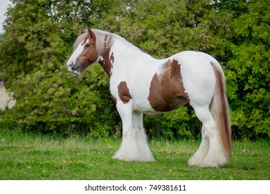 Red and white gypsy horse vanner cob mare in movement