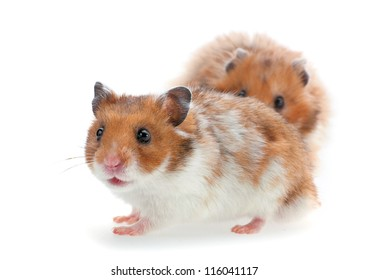 Red and white hamster isolated on white