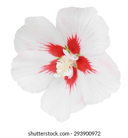 Red and white hollyhock flower closeup isolated on white background