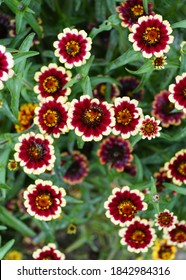 Red and white 'Jazzy Group' zinnia flower