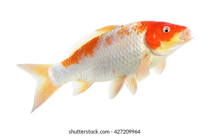 Red and white Koi fish isolated on the white background