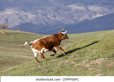 Red and White Longhorn Bull runs up a green hill in scenic Santa Ynez, California